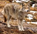 Coyote Looking Ahead - PhotoDune Item for Sale