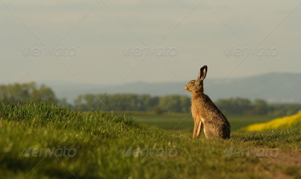 A hare sitting on the balk. - Stock Photo - Images
