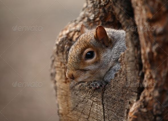 Cute squirrel looks out of her hole. - Stock Photo - Images