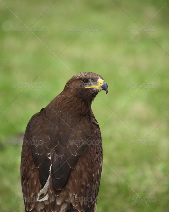 Brown eagle - Stock Photo - Images