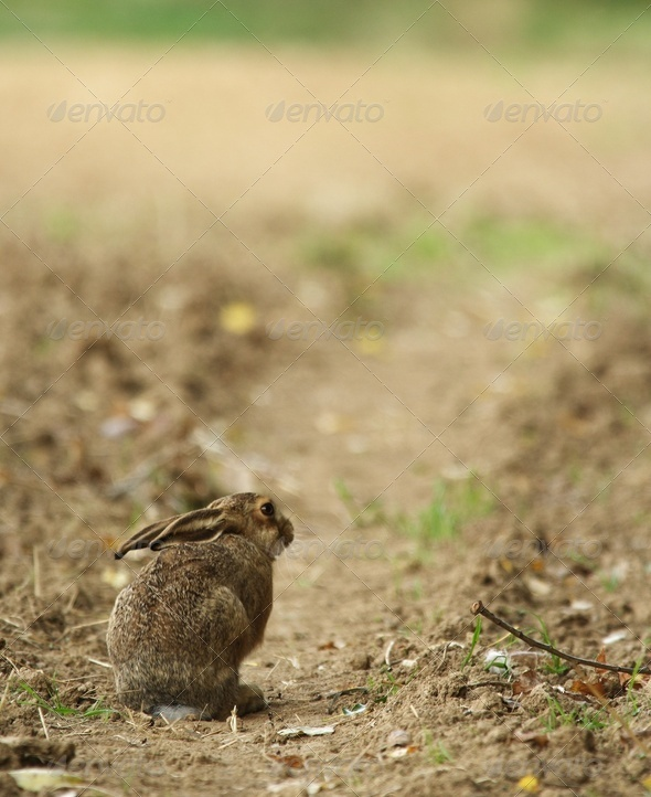 Cute little young hare sitting on a path. - Stock Photo - Images