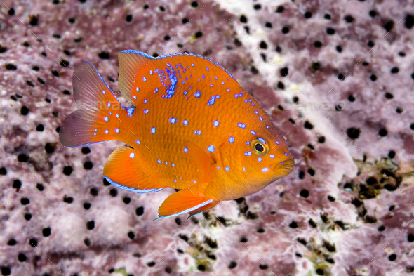 Juvenile garibaldi swimming around reef - Stock Photo - Images