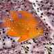 Juvenile garibaldi swimming around reef - PhotoDune Item for Sale