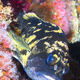 California Cabazon on reef - PhotoDune Item for Sale