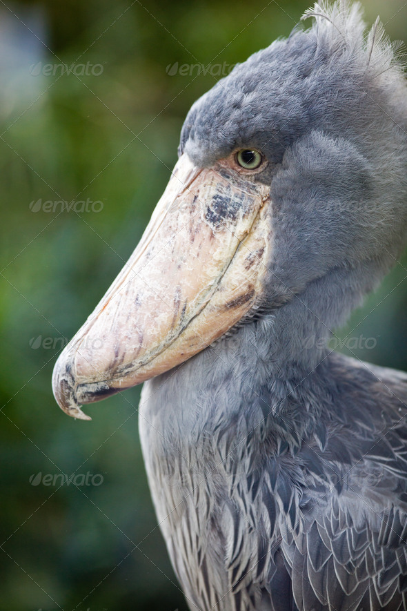 Shoebill (lat. Balaeniceps rex; aka Whalehead) - Stock Photo - Images