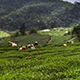 Mountain Tea Garden Picking Tea in Taiwan Chiayi - VideoHive Item for Sale
