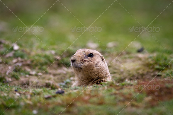 black tailed prairie dog (Cynomys ludovicianus) - Stock Photo - Images
