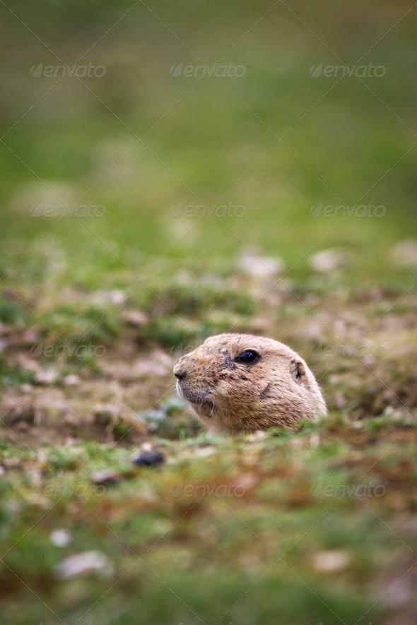 black tailed prairie dog (Cynomys ludovicianus) - Stock Photo - Images