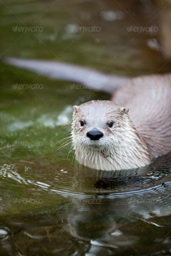 European Otter (Lutra lutra), also known as Eurasian otter, Eura - Stock Photo - Images