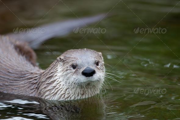 European Otter (Lutra lutra), also known as Eurasian otter, Eura - Stock Photo - Images