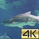 Bull Shark 6 - VideoHive Item for Sale