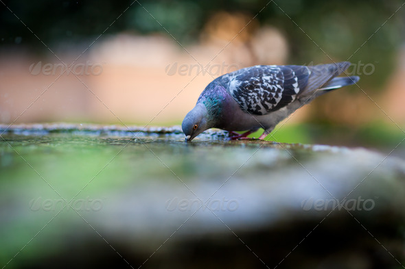 close-up of a pigeon drinking water from a basin/fountain in the - Stock Photo - Images