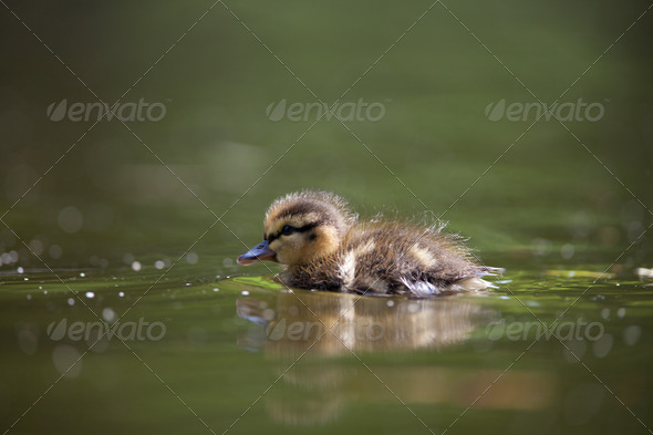 cute little duckling swimming in water - Stock Photo - Images