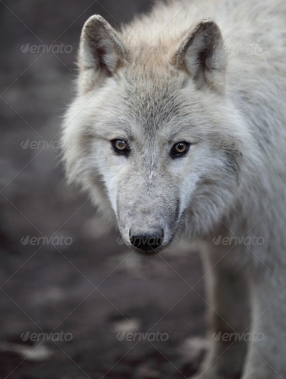 Arctic Wolf (Canis lupus arctos) aka Polar Wolf or White Wolf - - Stock Photo - Images