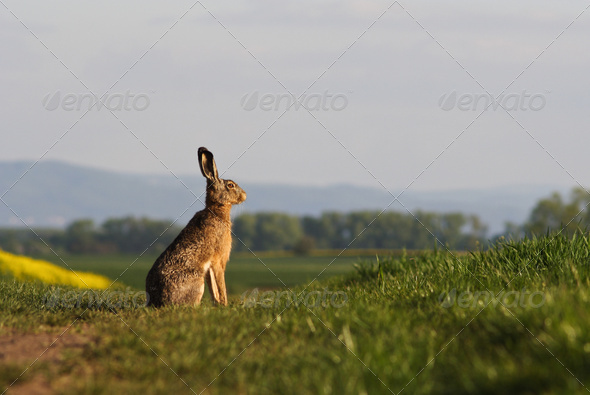 Brown hare (lepus europaeus) sitting on a green balk - Stock Photo - Images