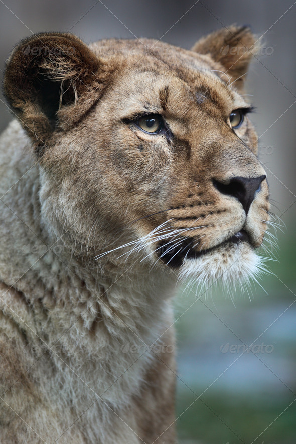 Close-up portrait of a majestic lioness (Panthera Leo) in nature - Stock Photo - Images