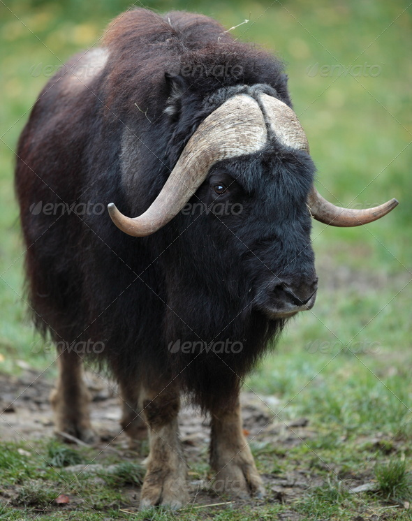 musk ox (Ovibos moschatus) - Stock Photo - Images