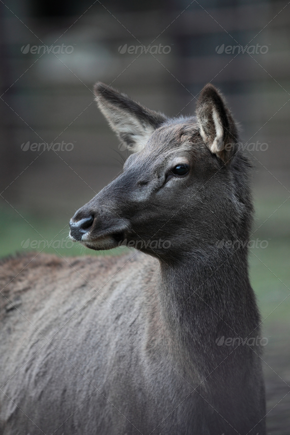 close-up portrait of a doe/hind - Stock Photo - Images