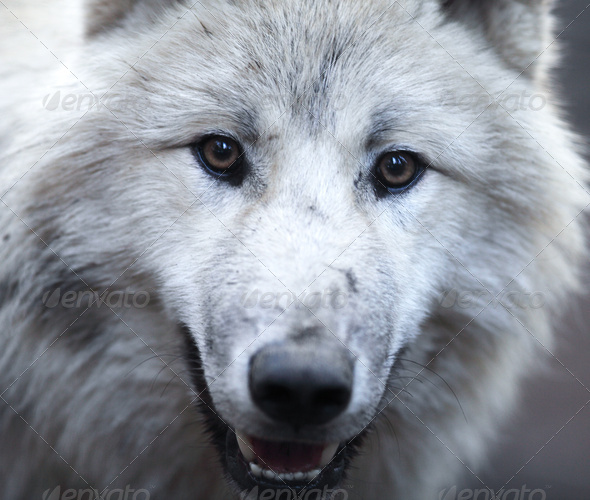 Close up view of a male wolf (Canis lupus) - Stock Photo - Images