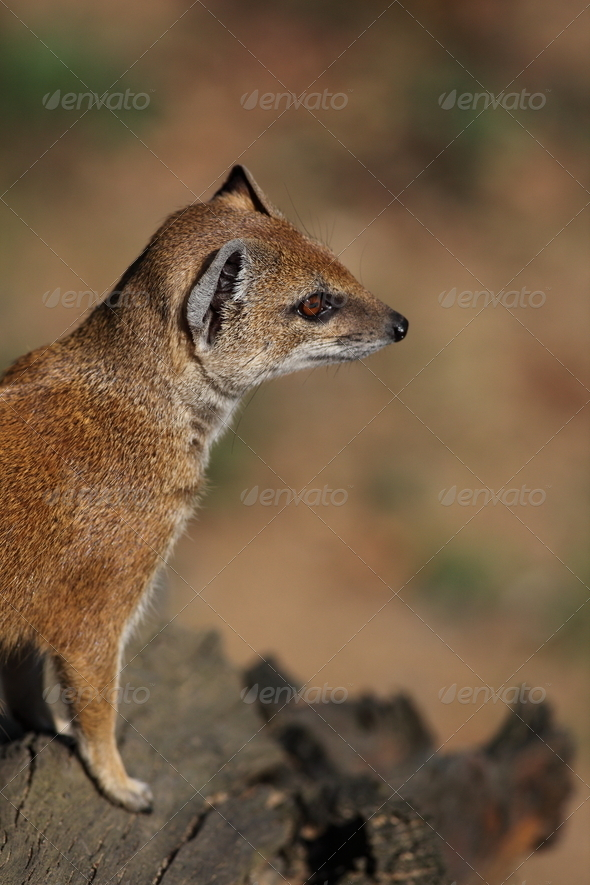yellow mongoose - Stock Photo - Images
