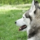 Portrait Of a Siberian Husky . - VideoHive Item for Sale