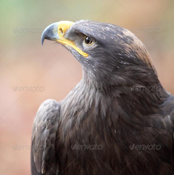 majestic steppe eagle close-up - Stock Photo - Images
