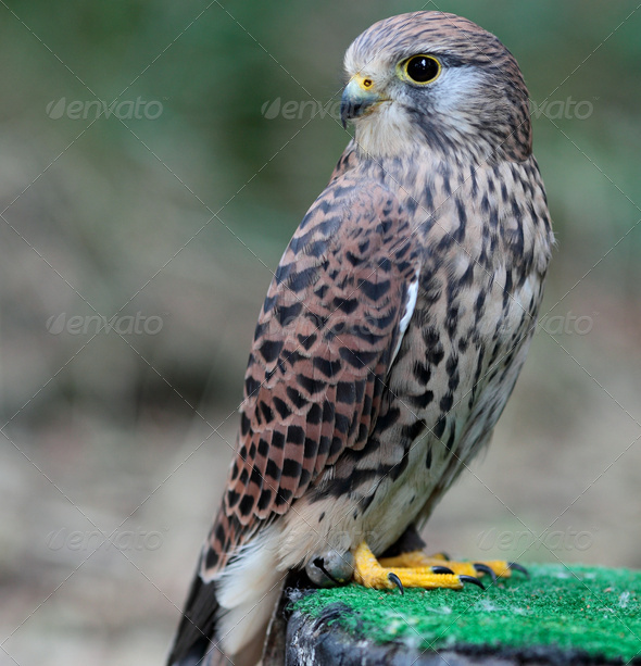 Common Kestrel - Falco tinnunculus - close-up view of this beaut - Stock Photo - Images