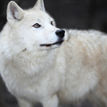 Arctic Wolf (Canis lupus arctos) aka Polar Wolf or White Wolf - - PhotoDune Item for Sale