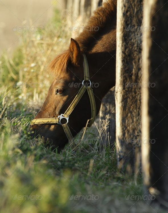 Pony poking his head through paling to graze on the meadow - Stock Photo - Images