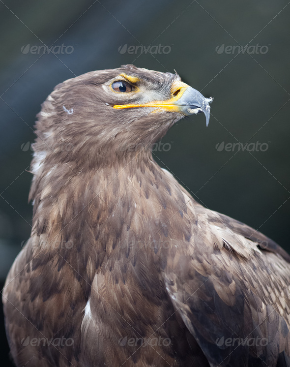 Steppe eagle - close-up portrait of this majestic bird of prey - Stock Photo - Images