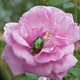 Green Beetle Cetonia Aurata On The Rose - VideoHive Item for Sale