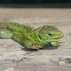 Sand Lizard, Lacerta Agilis - VideoHive Item for Sale