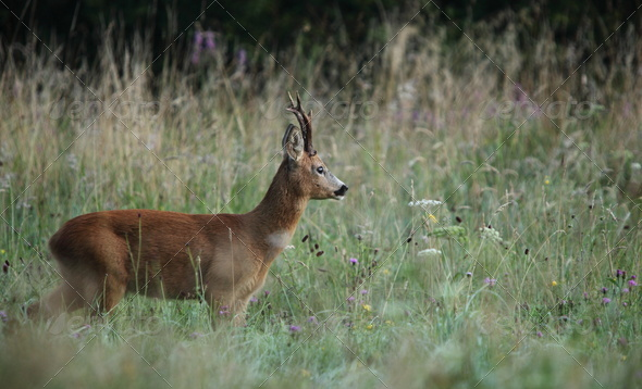 Roebuck (capreolus capreolus) - Stock Photo - Images