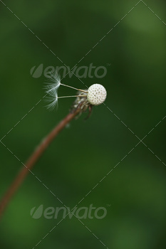Dandelion with two last seeds against green grass background.