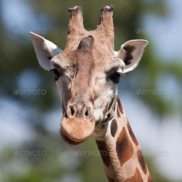 portrait of a giraffe (Camelopardalis) against green background - Stock Photo - Images