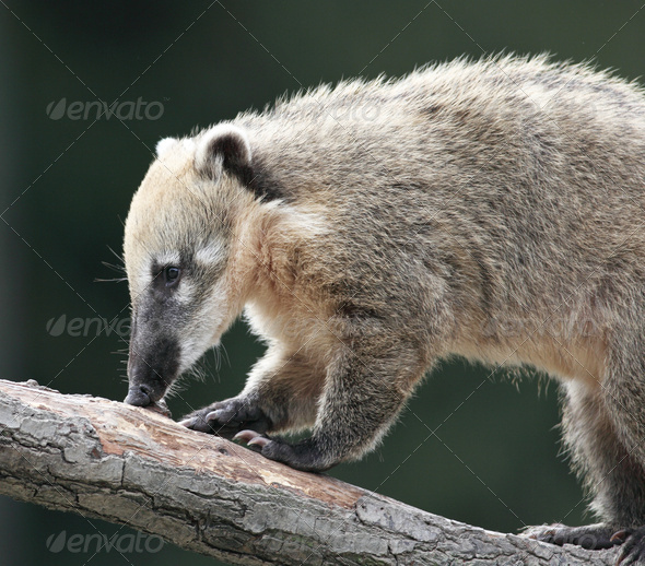 Close-up portrait of a very cute White-nosed Coati (Nasua narica - Stock Photo - Images