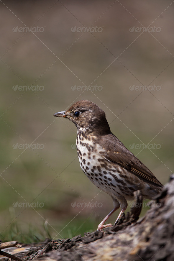 Song Thrush (Turdus philomelos) - Stock Photo - Images