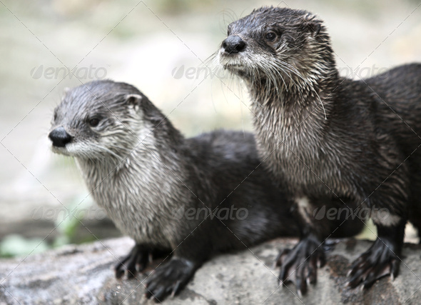 Otters - Stock Photo - Images