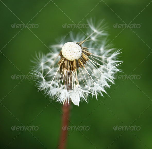Dandelion against green grass background - Stock Photo - Images