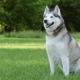 Cute Siberian Husky Is Sitting In The Shade Of Trees - VideoHive Item for Sale