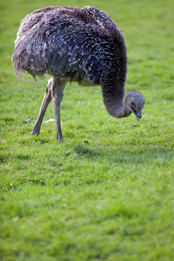 ostrich - Stock Photo - Images