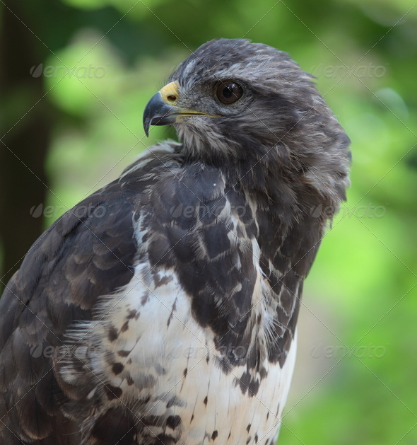 Close-up view of a majestic common buzzard  (Buteo buteo)Close-u - Stock Photo - Images