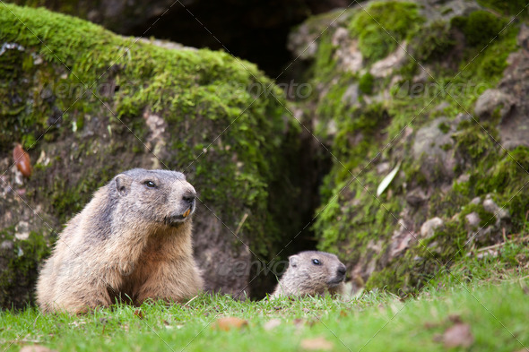 Marmot (Marmota marmota) - Stock Photo - Images