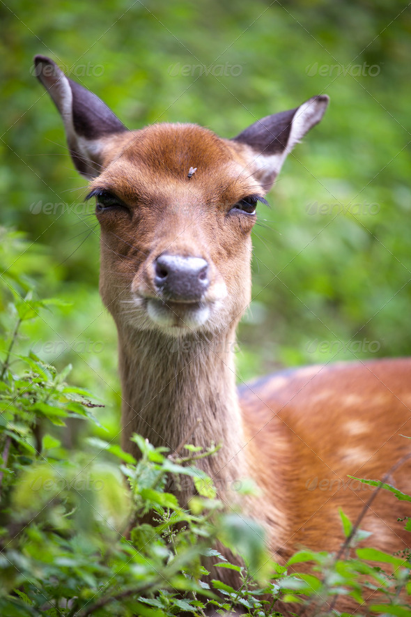 sika deer (lat. Cervus nippon) doe - Stock Photo - Images