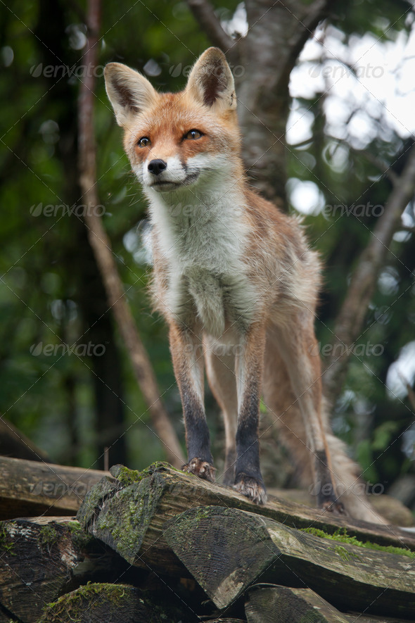 Red Fox (Vulpes vulpes) - Stock Photo - Images