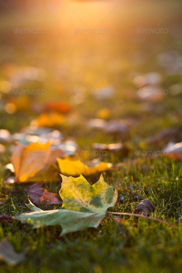 lovely autumn leaves at sunset - Stock Photo - Images