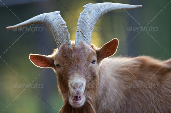 red goat - Stock Photo - Images