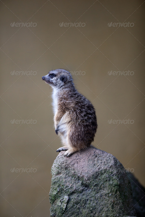 watchful meerkat standing guard - Stock Photo - Images