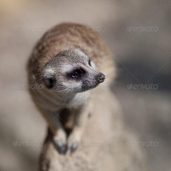 watchful meerkat standing guard - Stock Photo - Images