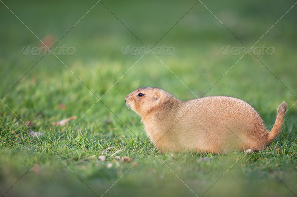 black tailed prairie dog - Stock Photo - Images